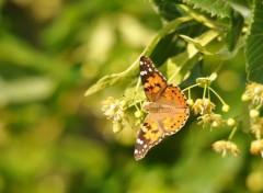 Animals Papillon et Fleurs de Tilleul