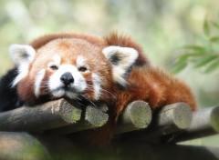 Animals Panda roux en sieste ...