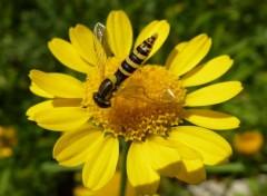 Animaux Syrphidae