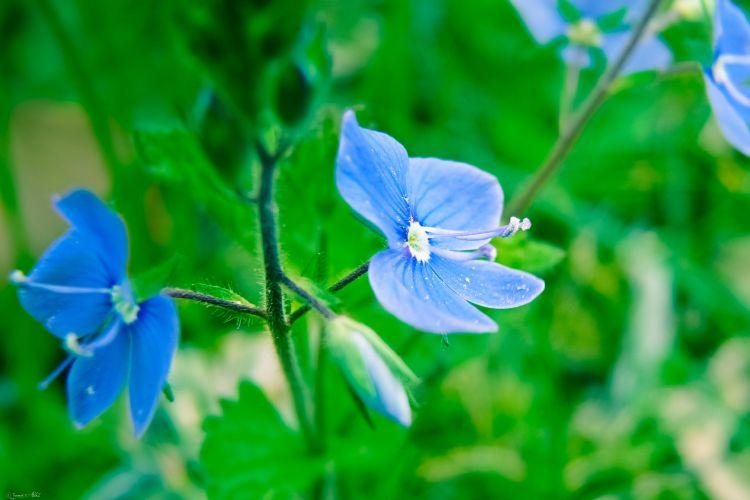 Fonds d'écran Nature Fleurs Veronica