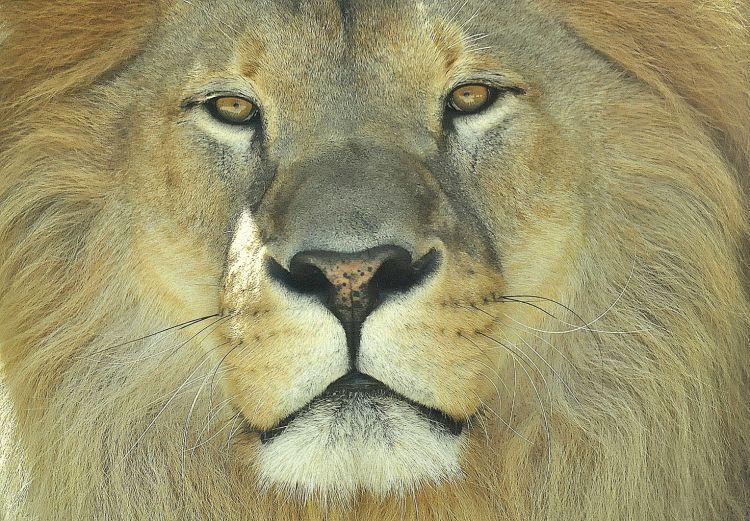 Wallpapers Animals Felines - Lions Regard de fauve