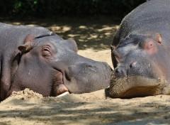 Animaux Hippos à la sieste