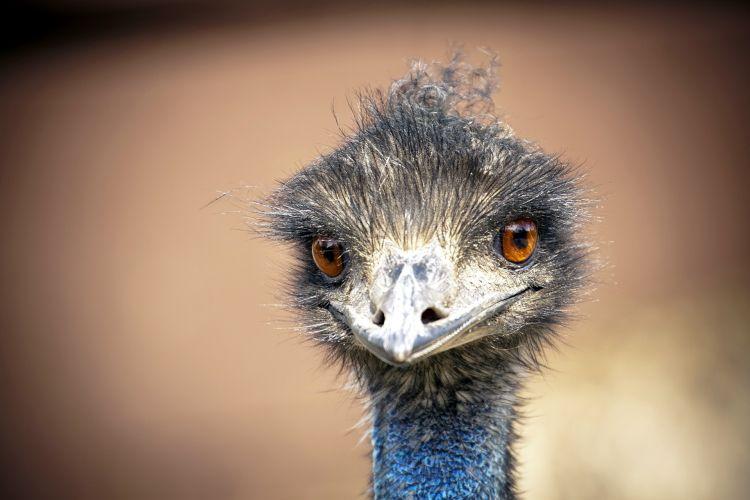 Fonds d'écran Animaux Oiseaux - Autruches et Emeus Regard d'autruhe