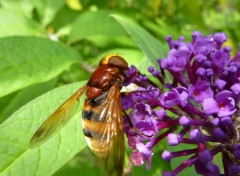Animals Volucella zonaria