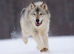 Animals Loups