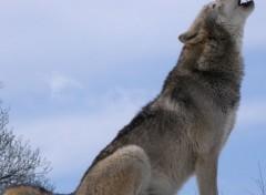 Animaux Loups