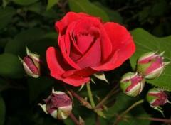 Nature une rose vient d eclore
