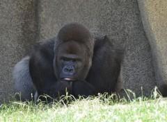 Animaux Gorille argenté