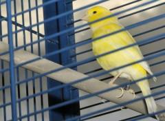 Animaux Un canari en cage