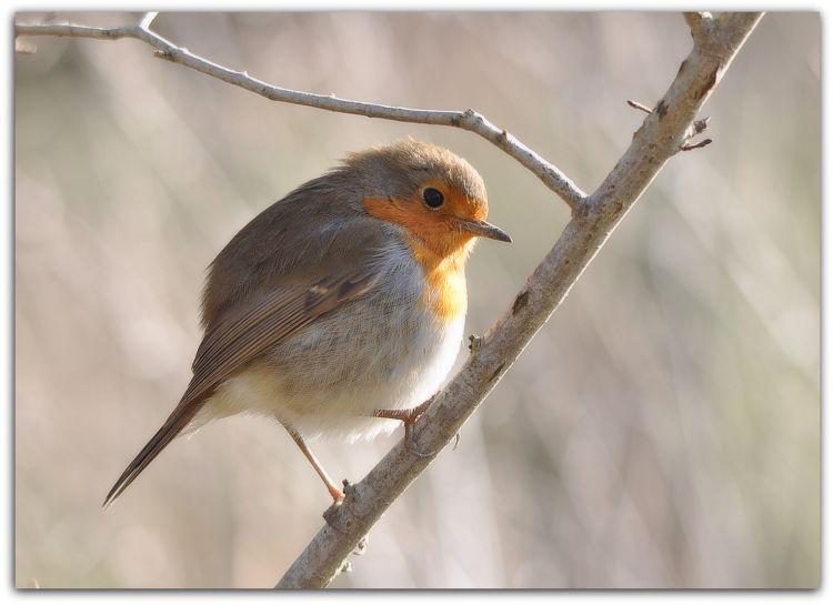 Fonds d'écran Animaux Oiseaux - Rougegorges Rouge - gorge