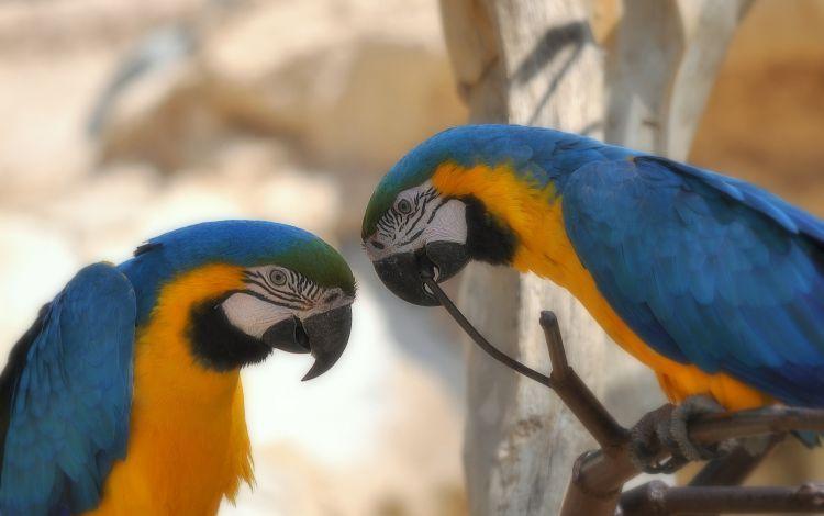 Fonds d'écran Animaux Oiseaux - Perroquets Aras