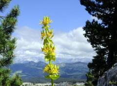 Nature Fleurs des montagnes