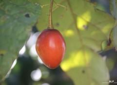 Nature Tomate arbuste (La Réunion)