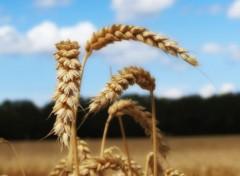 Nature Epis de blé