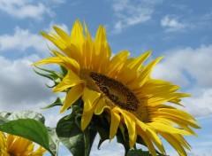 Nature tournesol abeilles