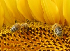 Animals abeilles butineuses