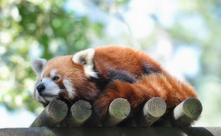 Fonds d'écran Animaux Pandas roux Panda roux