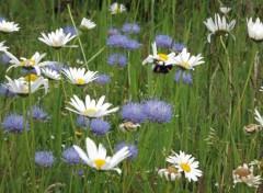 Nature fleurs des champs