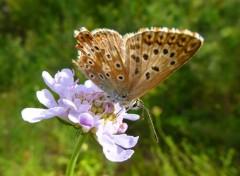 Animaux L'Argus bleu-nacré femelle