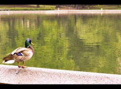 Animals Serenity Duck