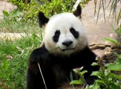 Animals Le Panda
