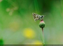 Animaux Papillons dans les Ecrins