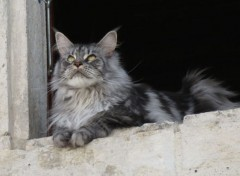 Animals  Maine-coon