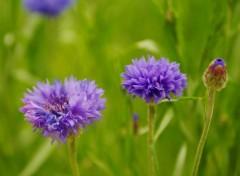 Nature Fleur de trèfle