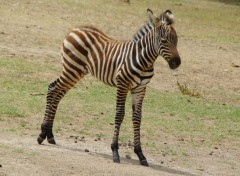 Animals Jeune Zèbre d' Afrique Parc Sigean