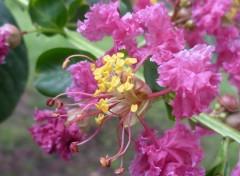 Nature lilas des INDES