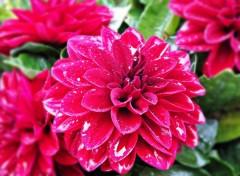 Nature une fleur de mon balcon