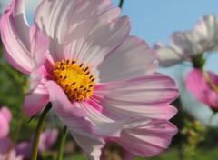 Nature Fleurs Cosmos