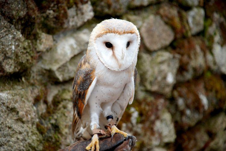 Fonds d'écran Animaux Oiseaux - Hiboux et Chouettes En vol ... où pas !
