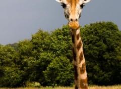 Animaux Fophie la girafe