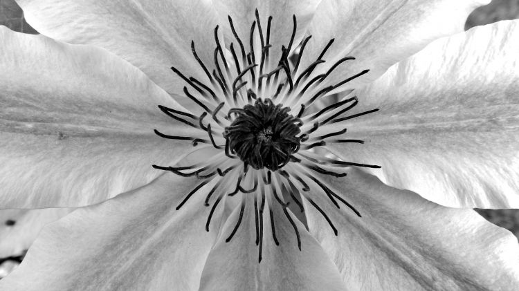 Wallpapers Nature Flowers noir et blanc