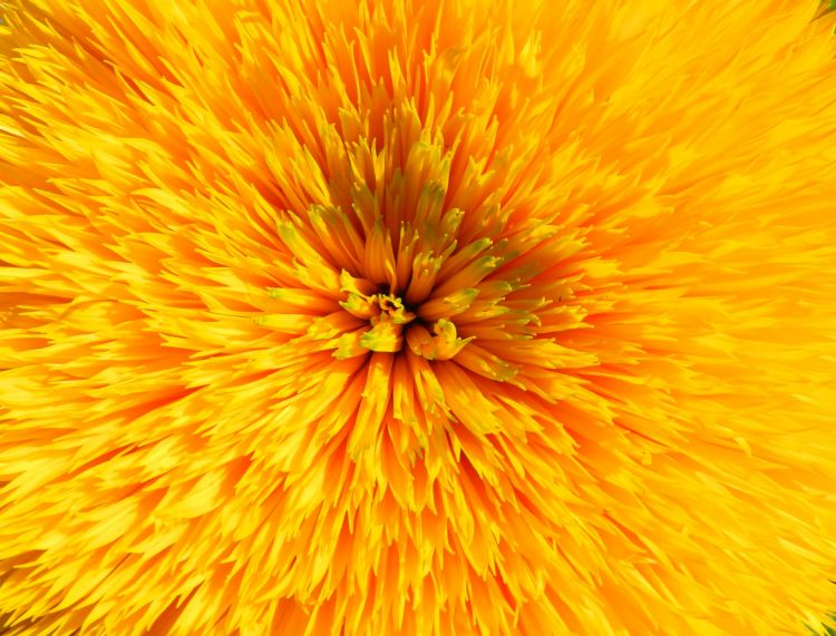 Wallpapers Nature Flowers tournesol