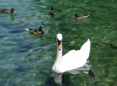 Animals Cygne et Canards