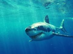 Animaux requin blanc