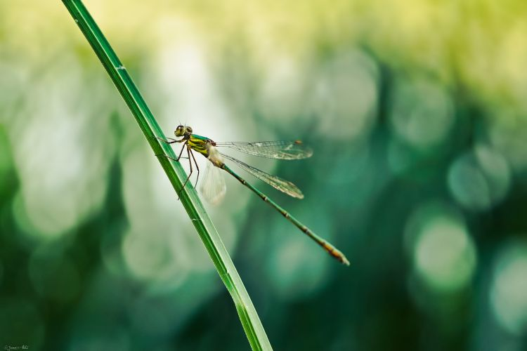 Fonds d'écran Animaux Insectes - Libellules Dragonfly of Metal