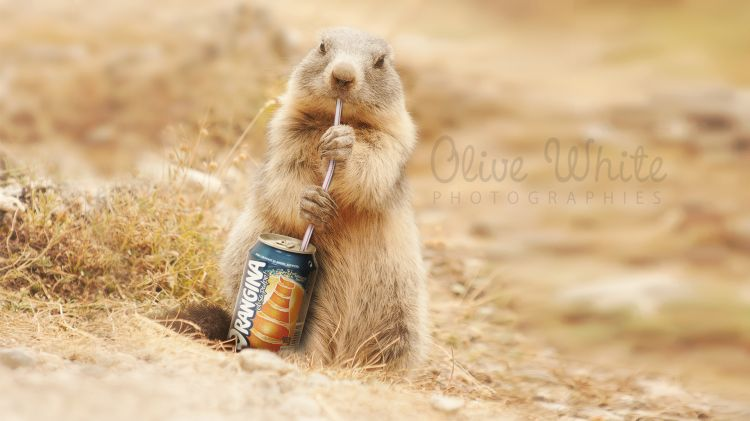 Wallpapers Digital Art Animals Colette la Marmotte qui boit un Orangina