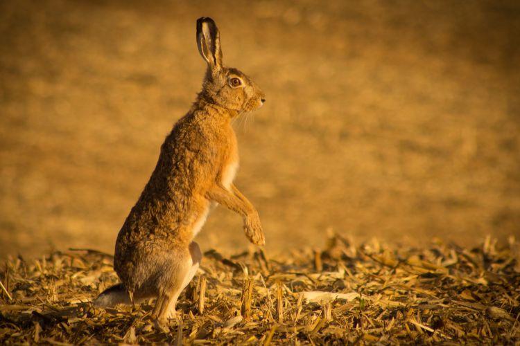 Wallpapers Animals Rabbits Lièvre