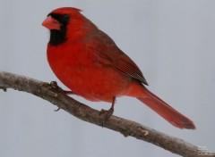 Animaux Cardinal rouge