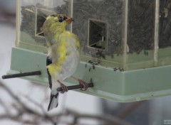 Animals Chardonneret jaune