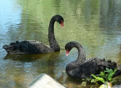 Animals Cygne noir