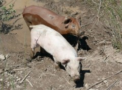 Animaux Cochon