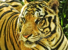 Animaux Tigre à Bali