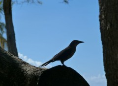 Animaux Oiseaux famille pies