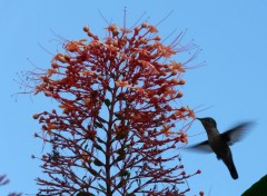 Animals colibri