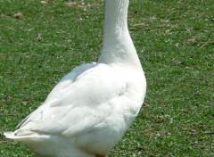 Animaux Oie blanche domestique
