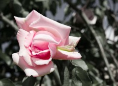 Nature la rose